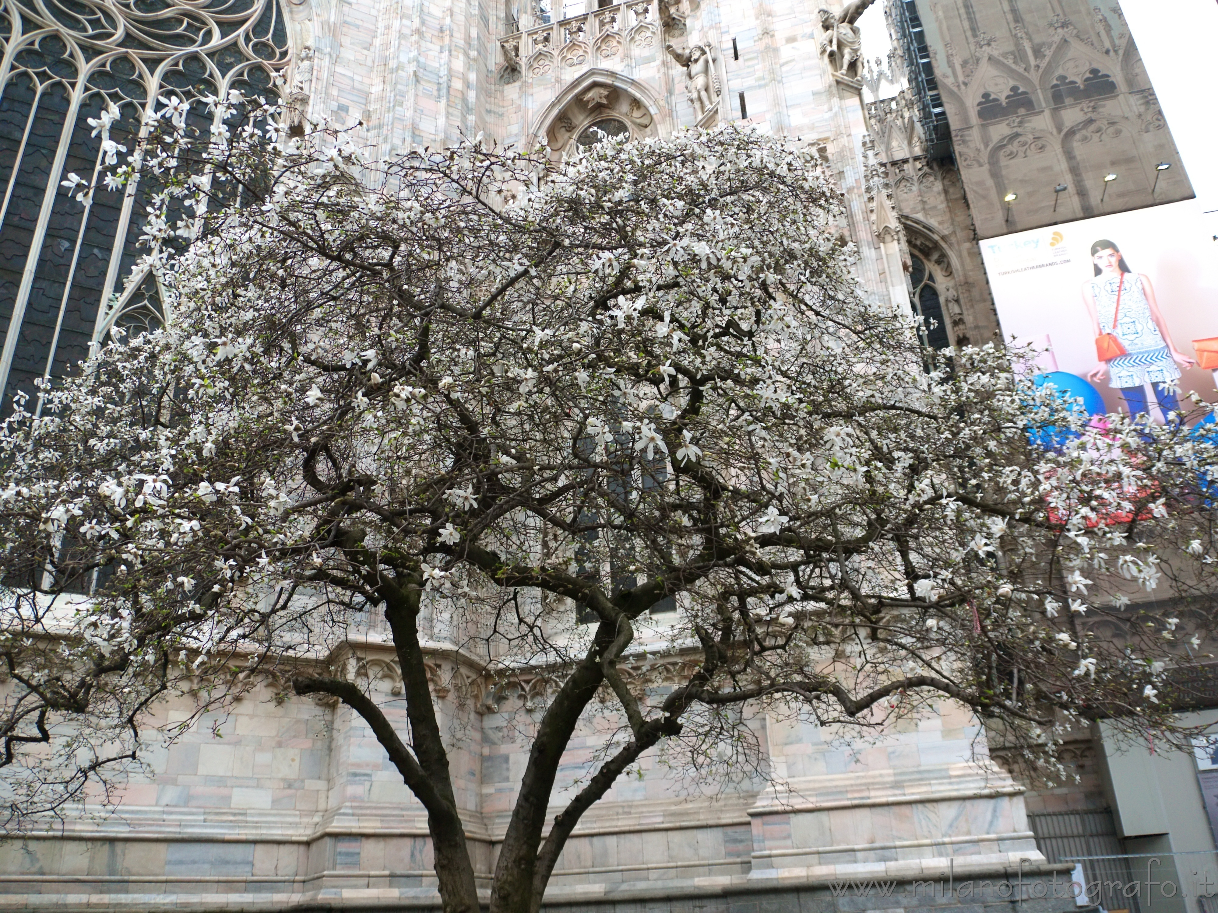 Milan (Italy): The white magnolia behind the Duomo in bloom - Milan (Italy)