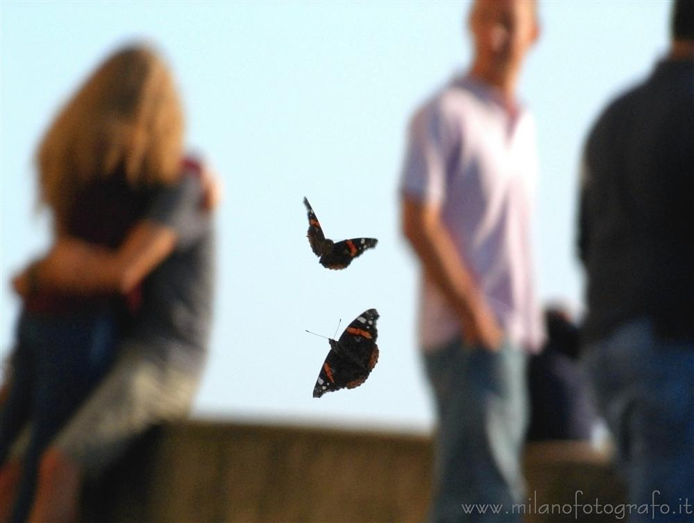 Montevecchia (Lecco, Italy) - Dogfight between two Vanessa atalanta butterflies