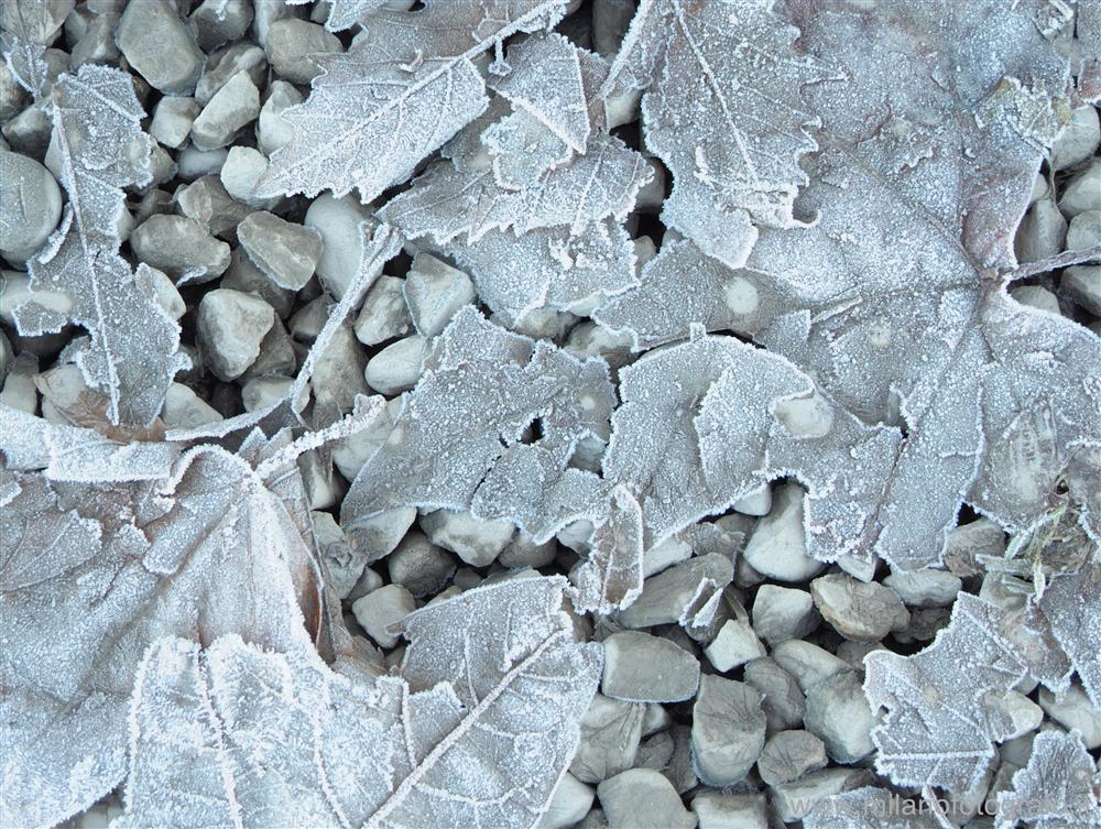 Carisio (Vercelli, Italy) - Dead leaves covered with frost