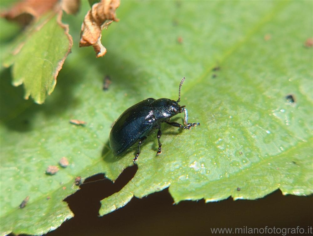 Cadrezzate (Varese, Italy) - Crysomelide beetle of not with certainty identified species