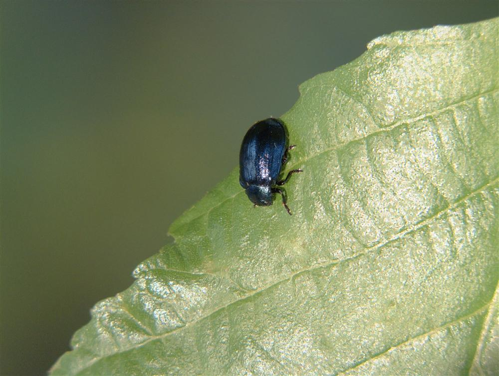 Cadrezzate (Varese, Italy) - Crisomelide beetle species not identified with certainty