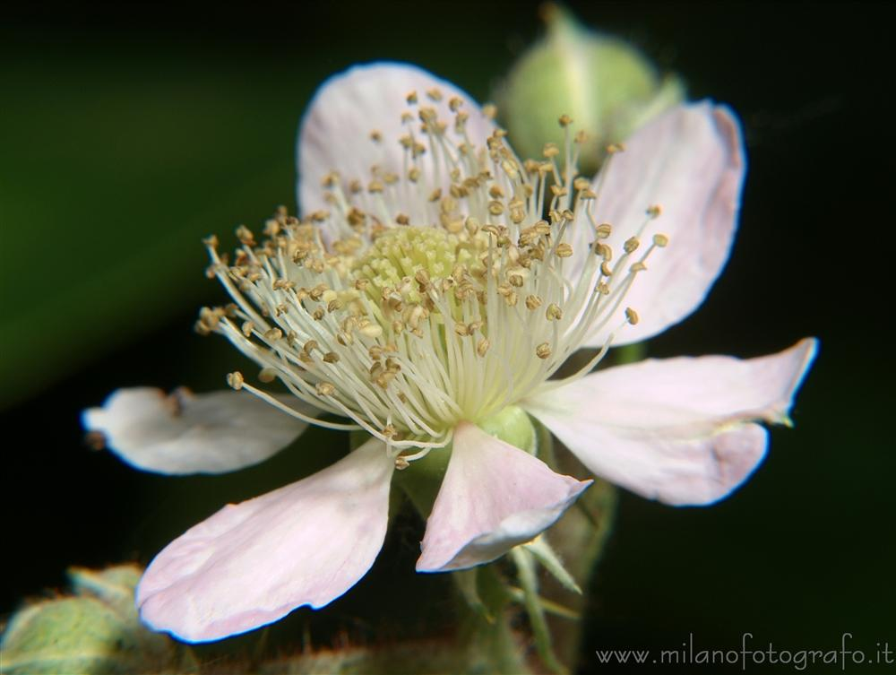 Fiore di pianta di more cadrezzate varese for Pianta di more