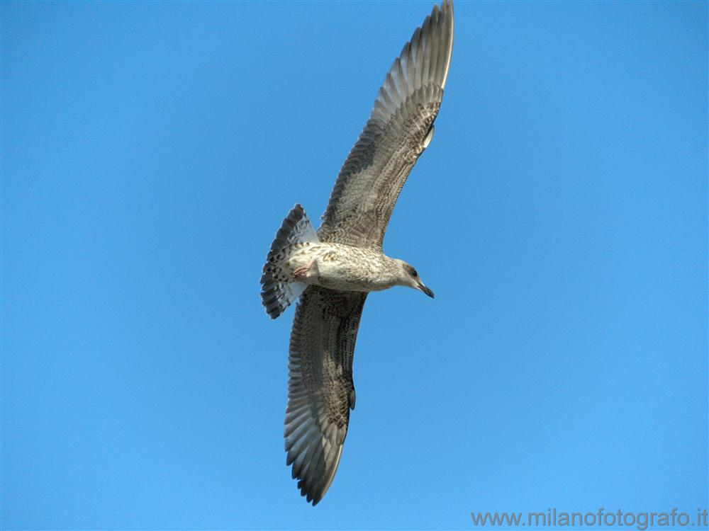 Cattolica (Rimini, Italy) - Young herring gull in flight
