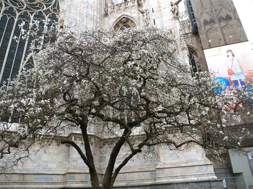 Milan (Italy) - The white magnolia behind the Duomo in bloom