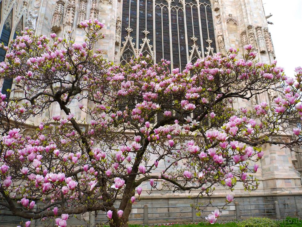 Milan (Italy) - The pink magnolia behind the Duomo in bloom