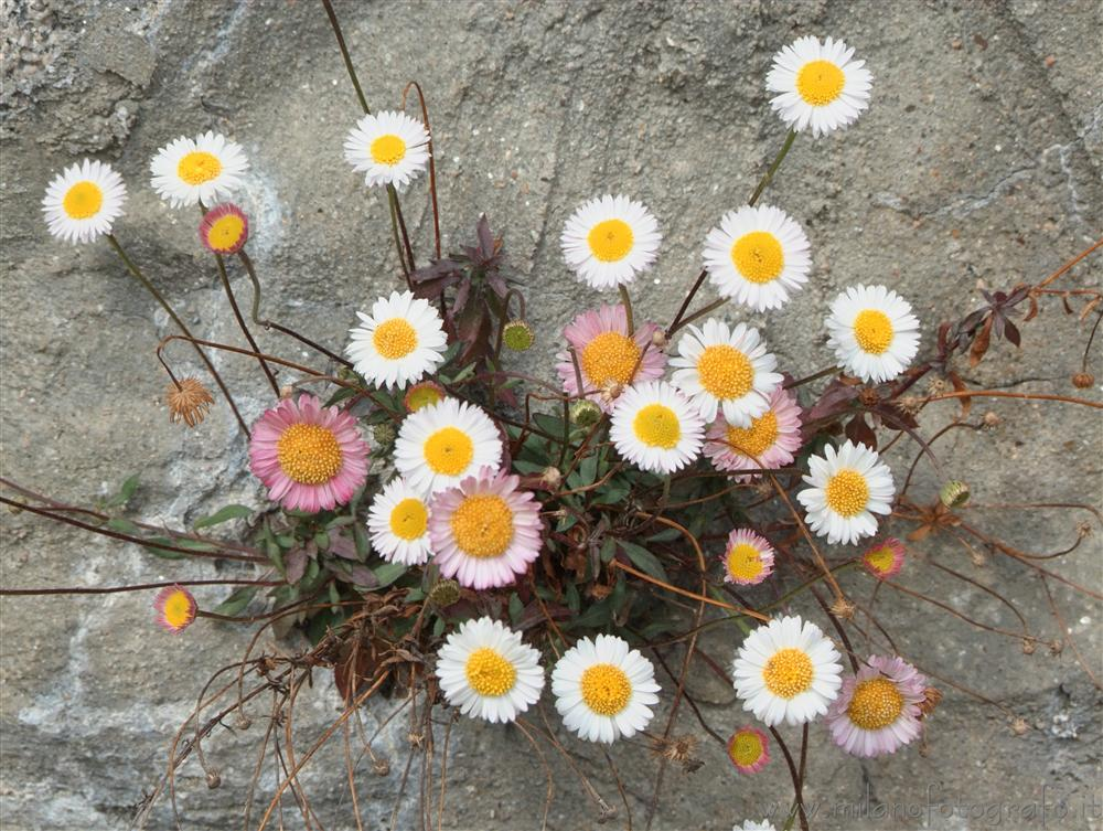 Valmosca fraction of Campiglia Cervo (Biella, Italy) - Group of small daisies on a cement wall