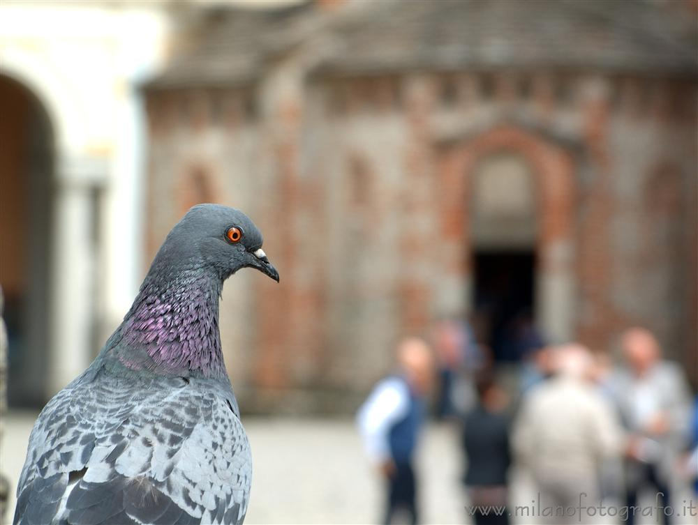 Biella (Italy) - Pigeon with the baptistery of the Cathedral of Biella in the background