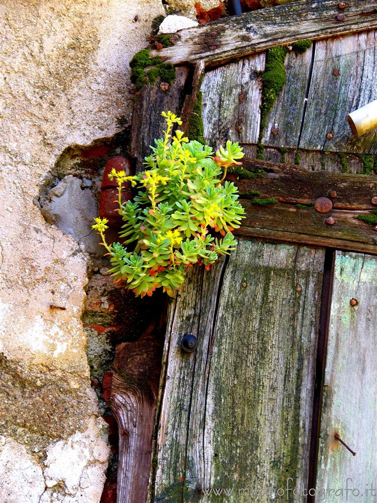 Milan (Italy) - Sedum plant on an old door in Assiano, one of the Milan villages