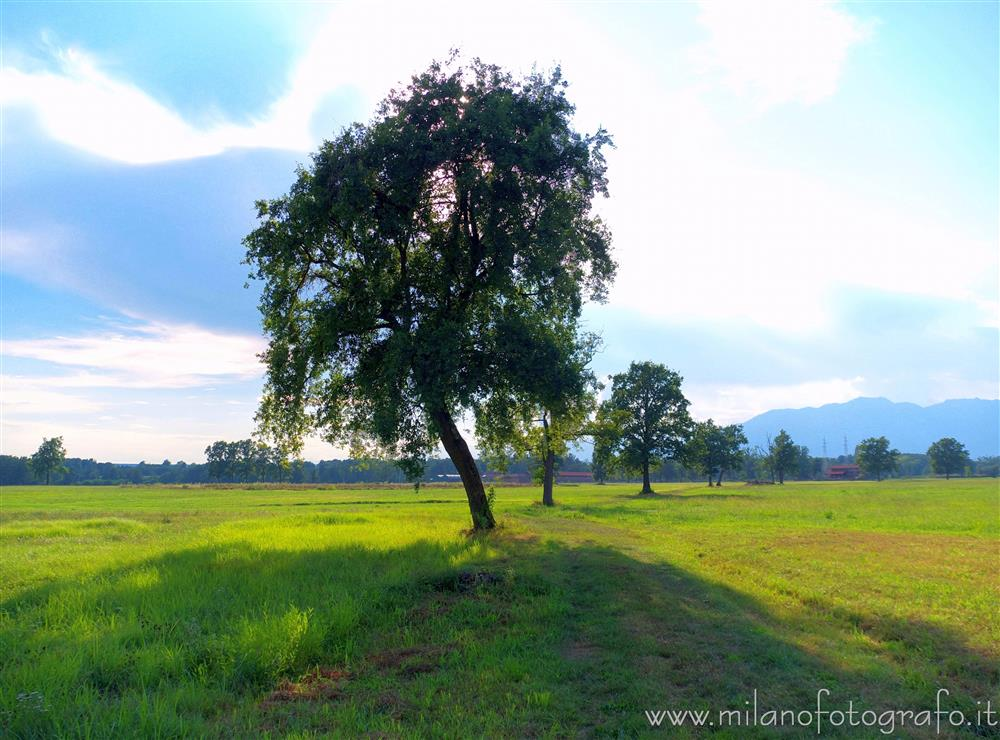 Candelo (Biella, Italy) - Isolated trees between the fields of the baraggia