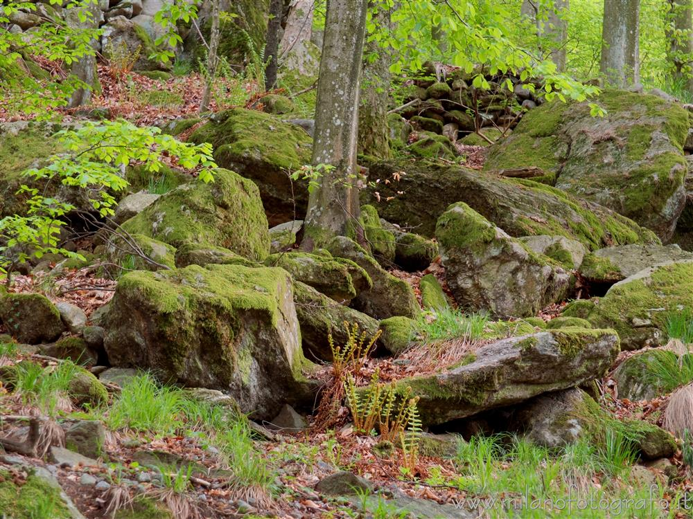 Beccara fraction of Rosazza (Biella, Italy) - Rocks covered with moss in the woods above the village
