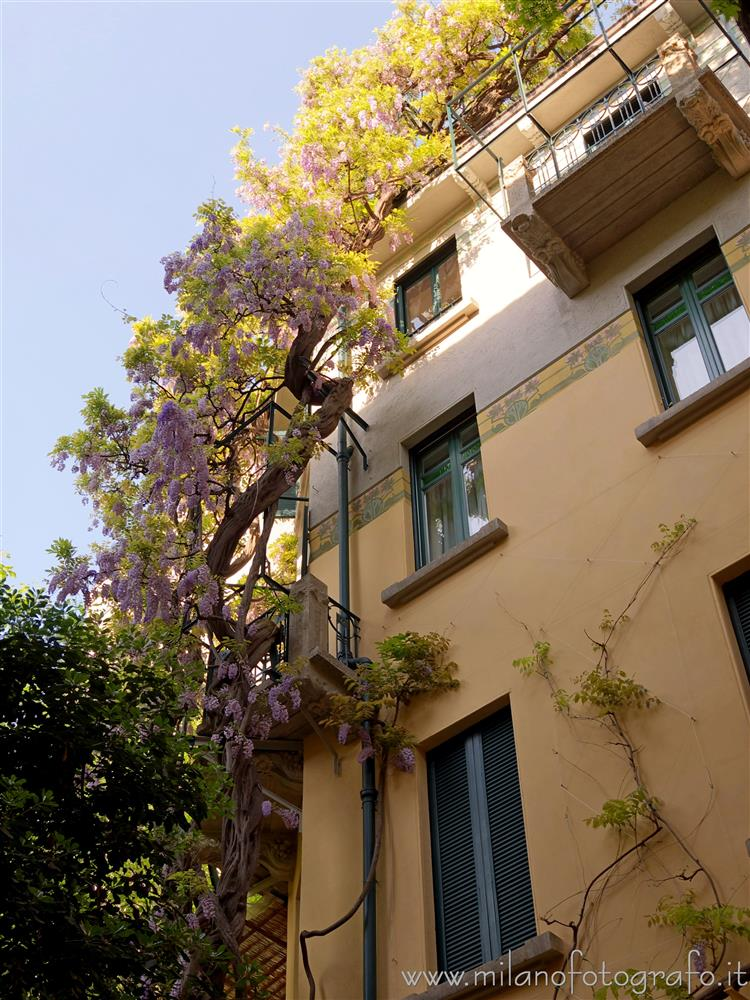 Milan (Italy) - Flowering large glycine in the court of House Campanini