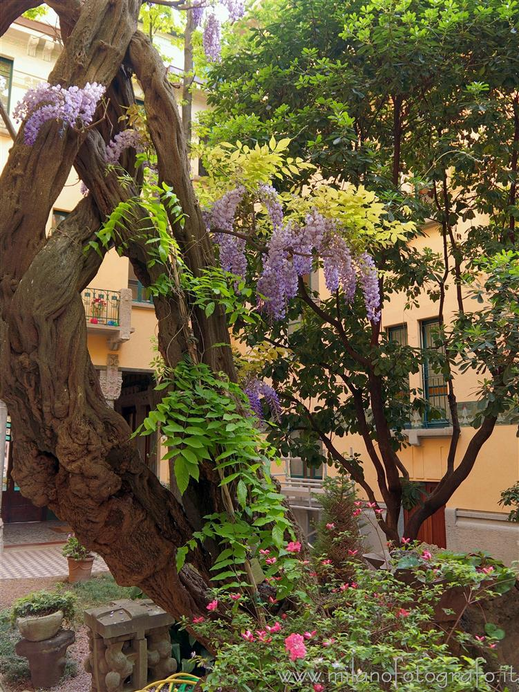 Milan (Italy) - Flowering glycine in the court of House Campanini