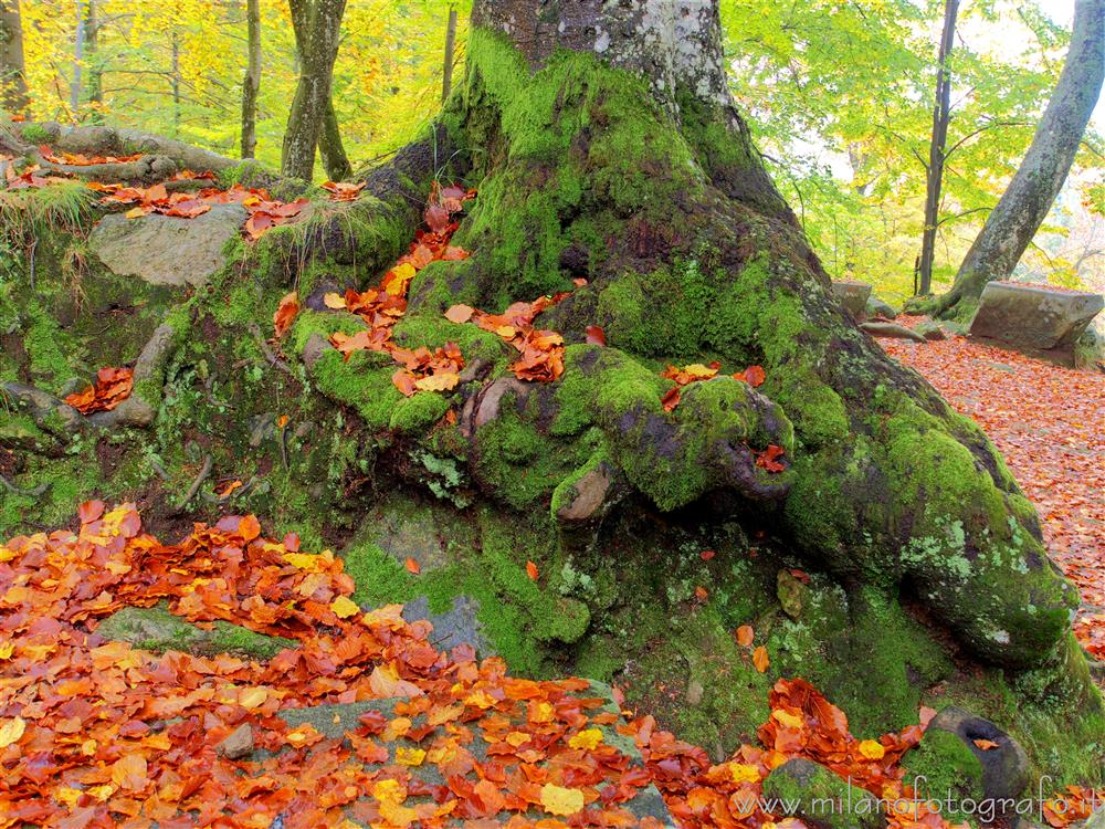 Oropa (Biella, Italy) - Moss-covered base of a trunk in autumn
