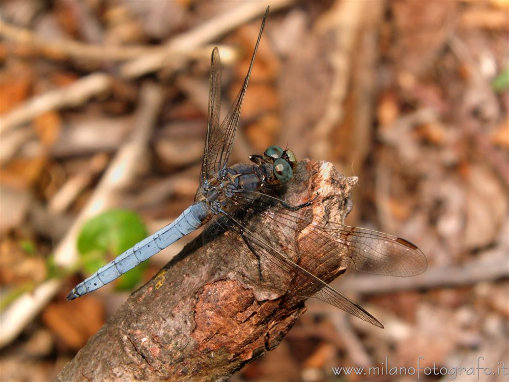 Cadrezzate (Varese, Italy) - Most probably male Orthetrum coerulescens